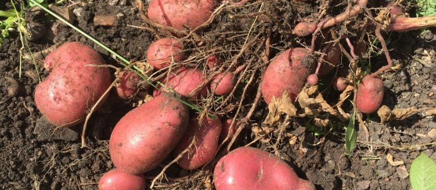 The best potatoes to grow
