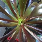 How to make an Aeonium arboreum branch