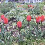 Allotment Month 17: dahlias, prairie and produce