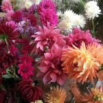 NGS September Open Day – #DahliaFest