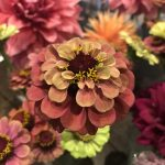 Add some zing this summer with the unnatural flowers of Zinnias