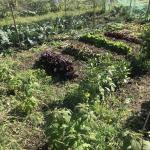 Allotment month 31: here come the crops – gherkins, kohlrabi, edible flowers and more