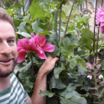Video of giant dahlia 'Emory Paul'