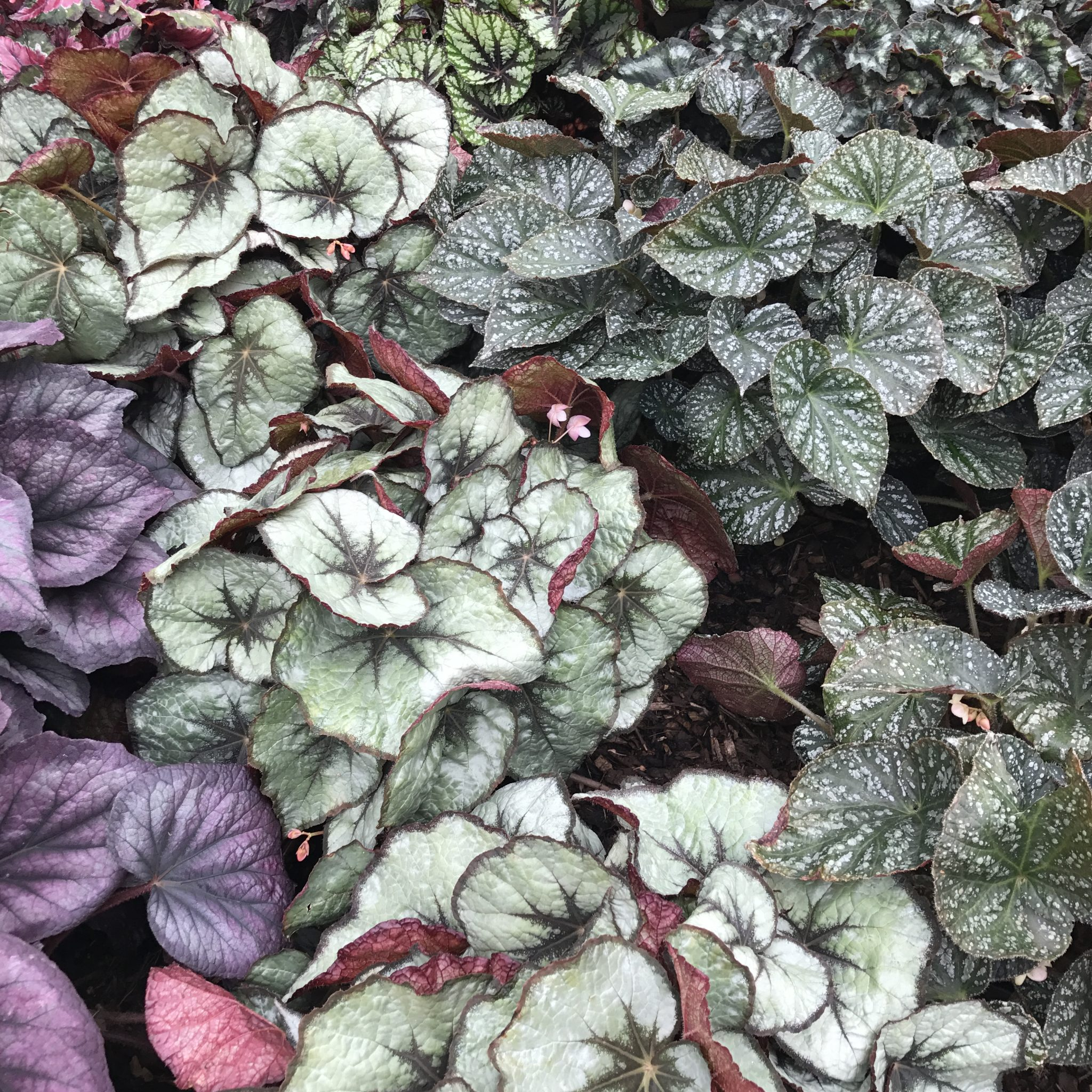 8 Tips To Demystify Growing Begonias As Houseplants Jack