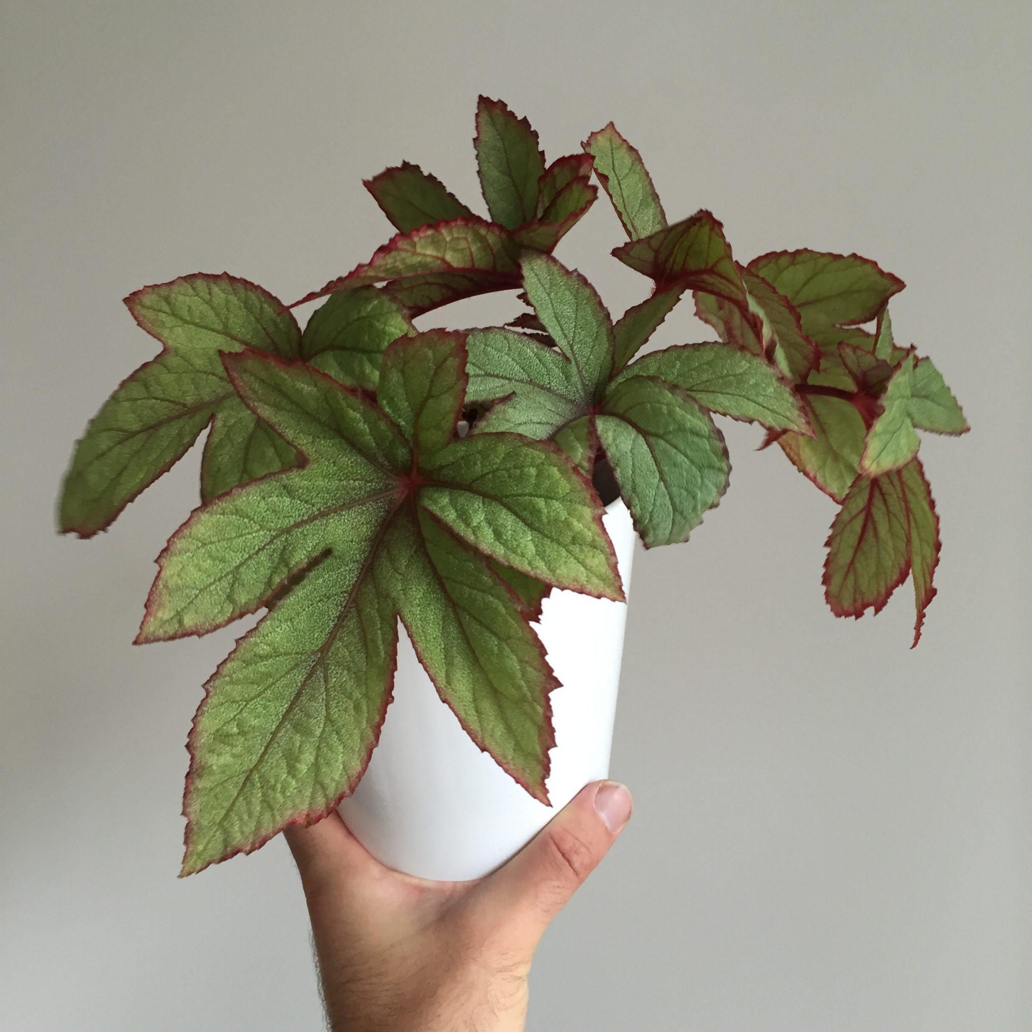 8 Tips To Demystify Growing Begonias As Houseplants Jack
