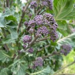 How to grow organic purple sprouting broccoli and cook it