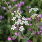 10 native UK weeds to grow for wildlife