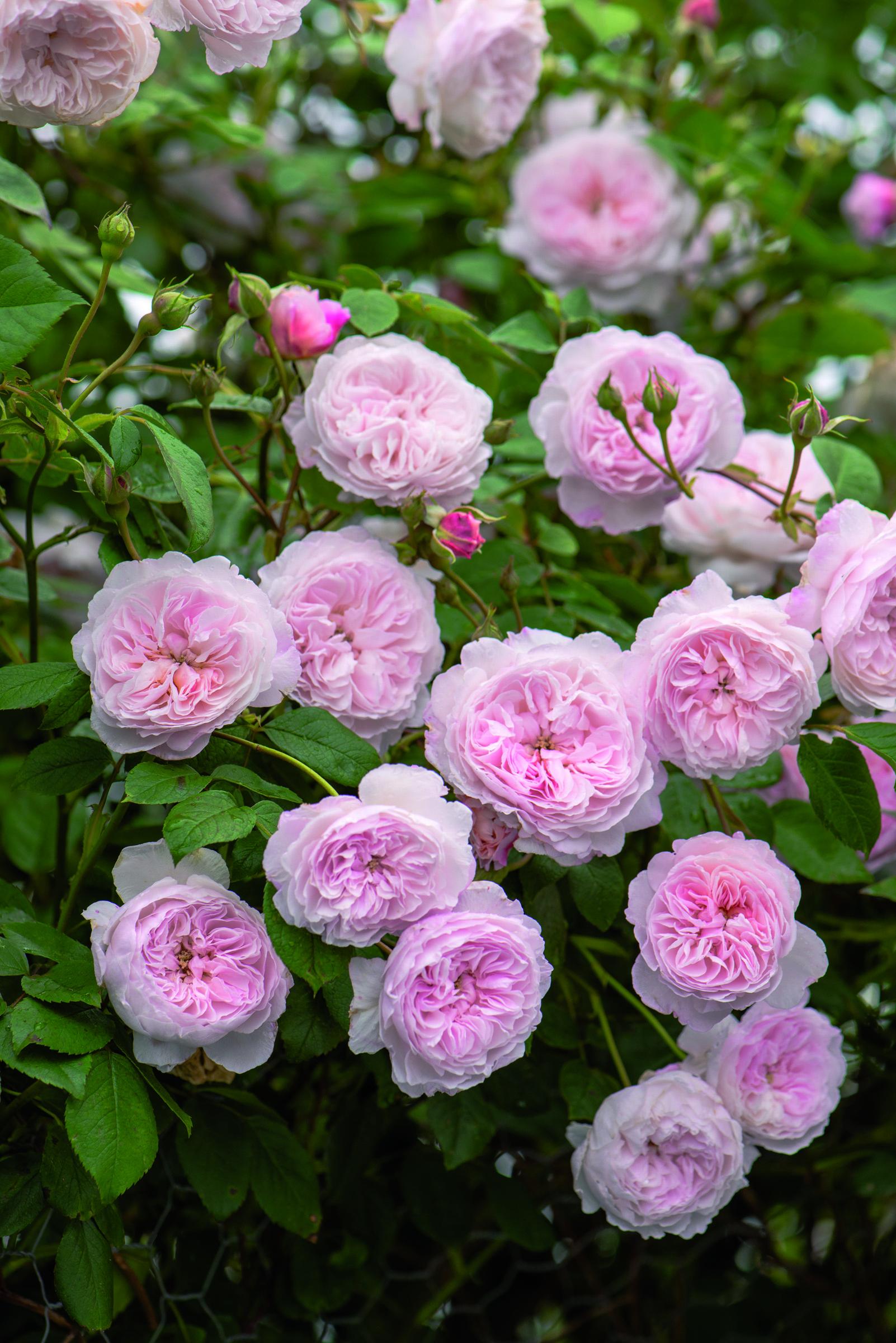 Faire Un Rosier Avec Une Rose rosiers anglais : découvrez les nouveautés de david austin