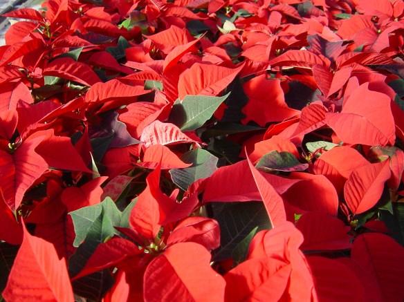 Le Val-de-Loire produit environ 500 000 pots de Poinsettia (photo S. Walek)