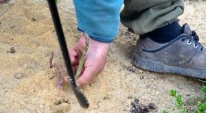 La cueillette des asperges s'effectue avec une gouge (photo C.G.)