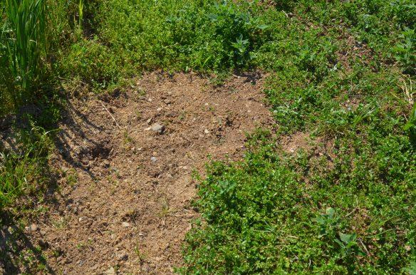 Le faux-semis, une technique contre les mauvaises herbes