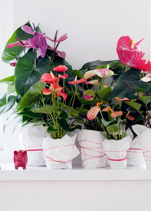 6ANTHURIUM_MAPLANTEMONBONHEUR