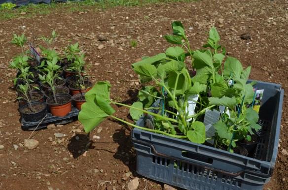 Les plants de végétaux fragiles : gardez-les encore un peu au chaud