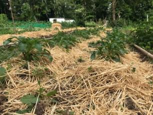 Plants de pommes de terre paillés et buttés