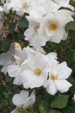 2499B Rosier White KNOCK OUT® Radwhite-HD