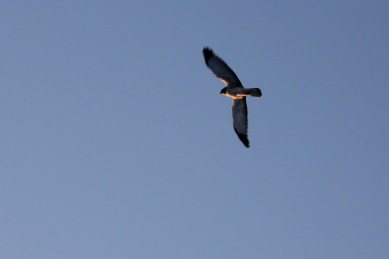 Buzzed by a hawk