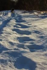 Larger critter tracks