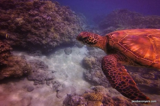 The second turtle was super cool, and let us follow him/her around for a long time
