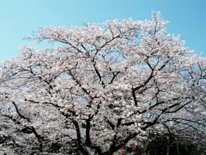Cherry Blossom full tree