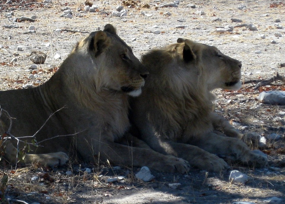 Namibia Lions