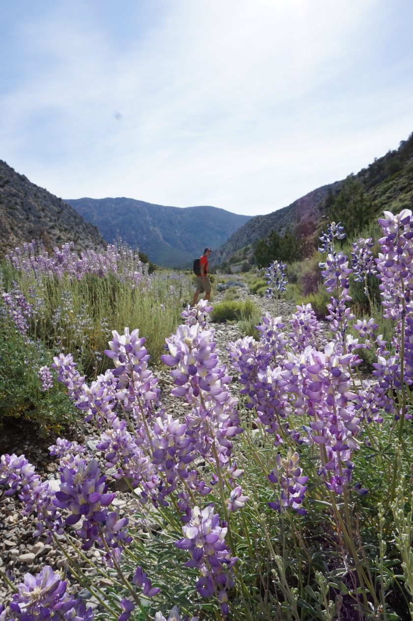 Spring-blooming lupine attract huge carpenter bees.