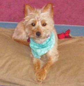Silky Terrier named Lily