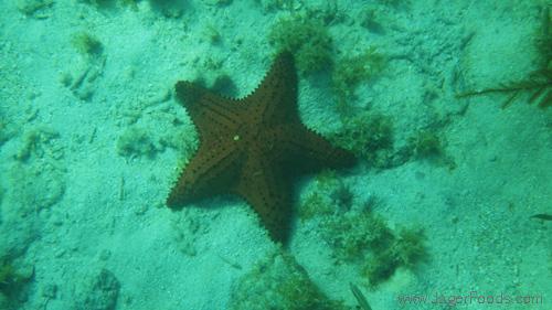 Starfish in Belize