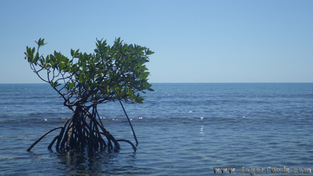 Mangrove in Water
