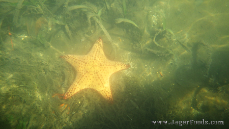 Sea Star in Belize