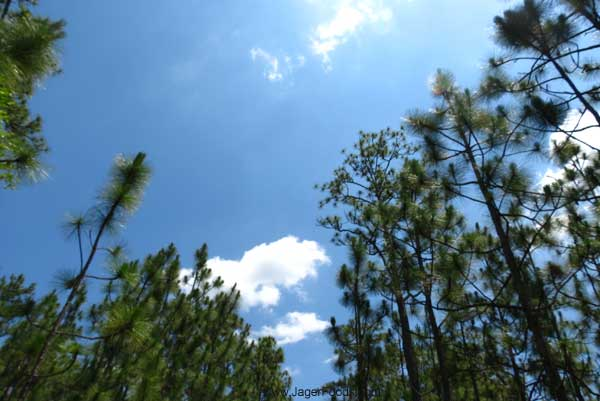 Blue skies and tall pine trees inSC