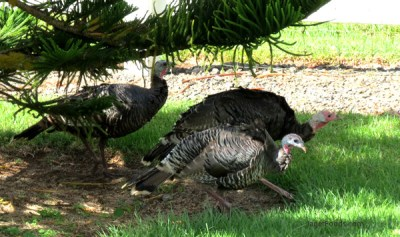 Wild turkeys in Hawaii