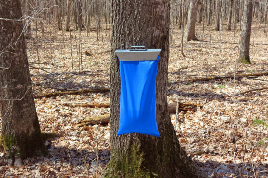 Collected maple sap in a blue collection sack