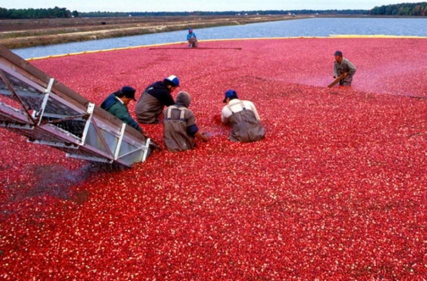 В России механизируют процесс выращивания клюквы