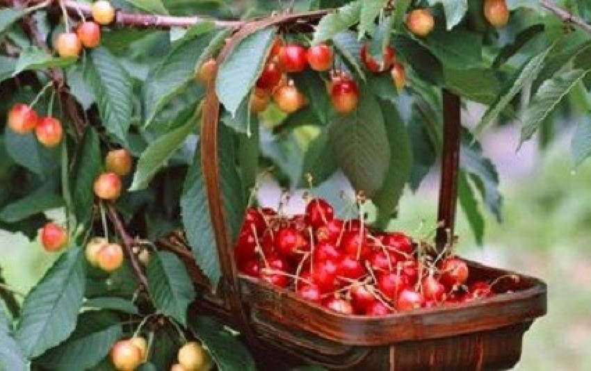 Молдавские ягодоводы жалуются, что урожай черешни в 3 раза ниже, чем в 2016 году