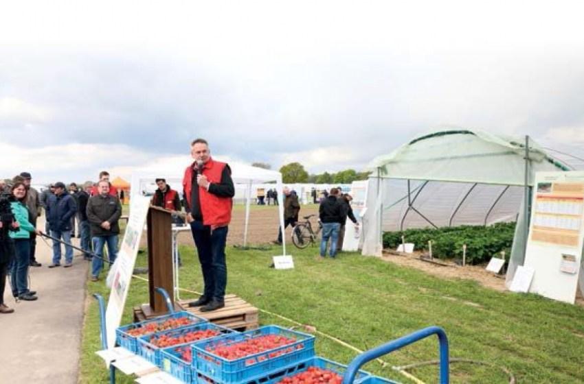 Опыт выращивания земляники садовой в северном Рейне