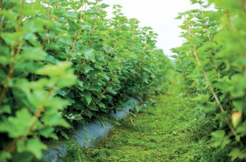 Александр ДУСАНЮК, компания «Декоплант»: о малиновом буме, цене на голубику и скрытых резервах красной смородины