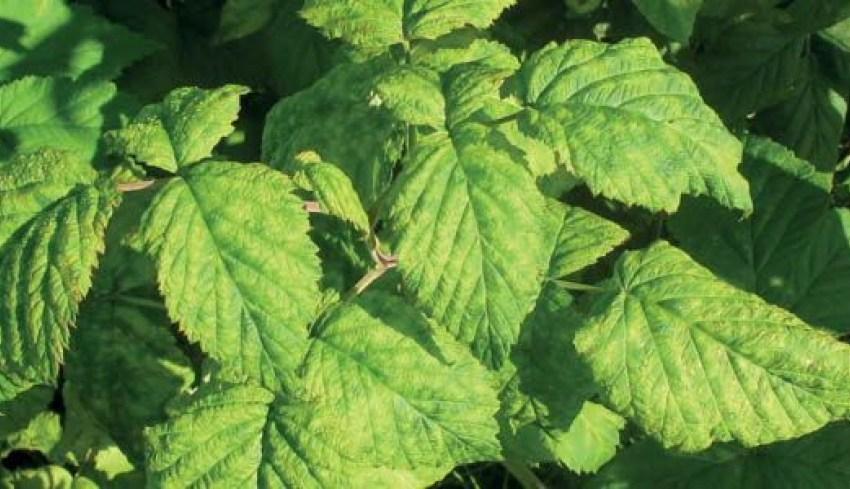 Вредители на ягодных растениях после сбора урожая и необходимость борьбы с ними весной