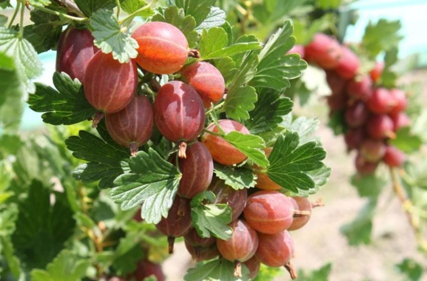 Повышение качества ягод крыжовника. Инновационная система выращивания – Кордон