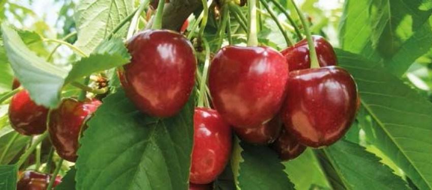 Як на підприємстві «Мелітопольська черешня» вирощують найсмачнішу в світі ягоду