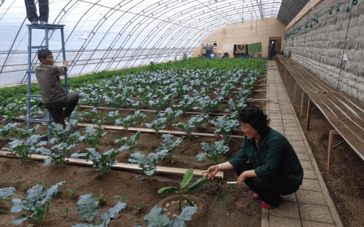 Дедалі більше парникових овочів, фруктів та ягід вирощують у Північній Кореї