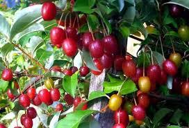 Ягоди гумі: користь плодів та догляд за кущами