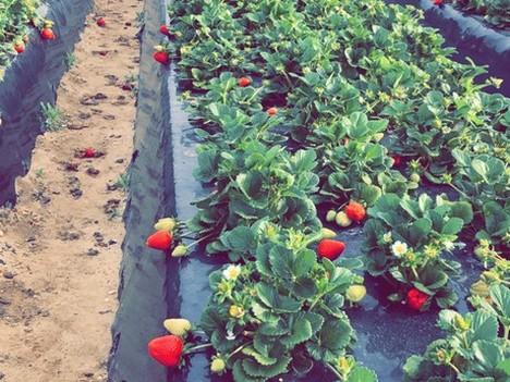 Сезон суниці садової відкритого грунту в Україні стартував з рекордних цін