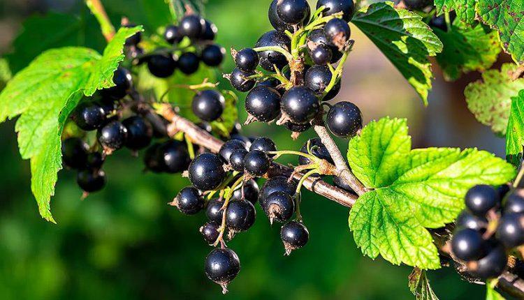 На Житомирщині активізують органічне ягідництво й експорт заморожених фруктів