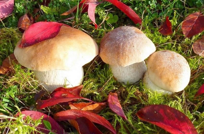 На Івано-Франківщині створили кооператив зі збирання грибів та ягід