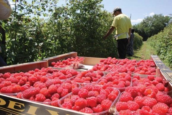 В ЄС зняли обмежувальні заходи з експорту сербської малини