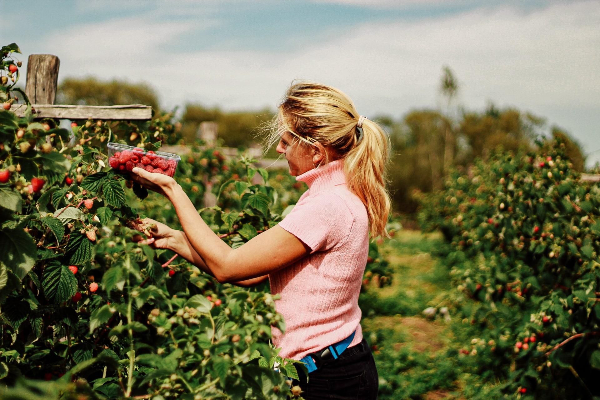 Медова ягода – екологічно чиста малина, суниця, лохина і натуральний мед
