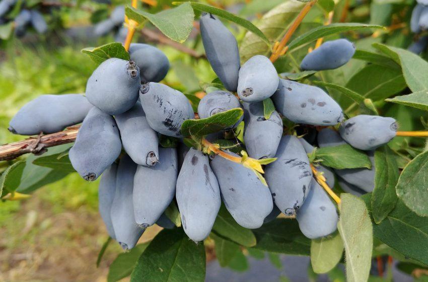 Жимолость – ягода без амбіцій чи суперфуд?
