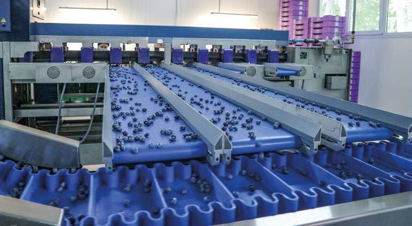 Інвестиції в нові сорти і технології – квиток на експортні ринки лохини