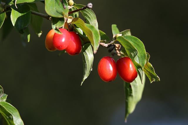 Кизил звичайний (Cornus Mas l.) в Україні – цінна харчова і лікарська рослина