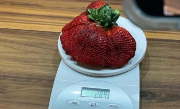 Суничний рекорд: в Ізраїлі виросла ягода вагою 289 г
